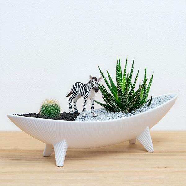 【産直 サボテン・多肉植物】多肉植物寄せ植え(シマウマ)