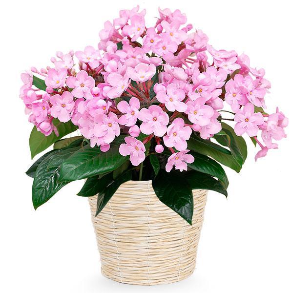 【敬老の日】敬老の日限定「におい桜」(ココ) 711413 |花キューピットの敬老の日プレゼント特集2020