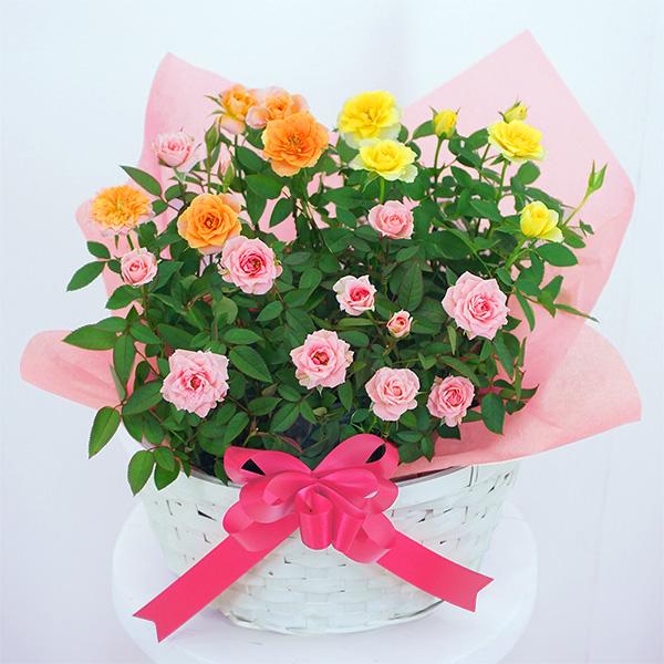 【敬老の日】敬老の日限定ミニバラの寄せ鉢(白かご) 711414 |花キューピットの敬老の日プレゼント特集2020