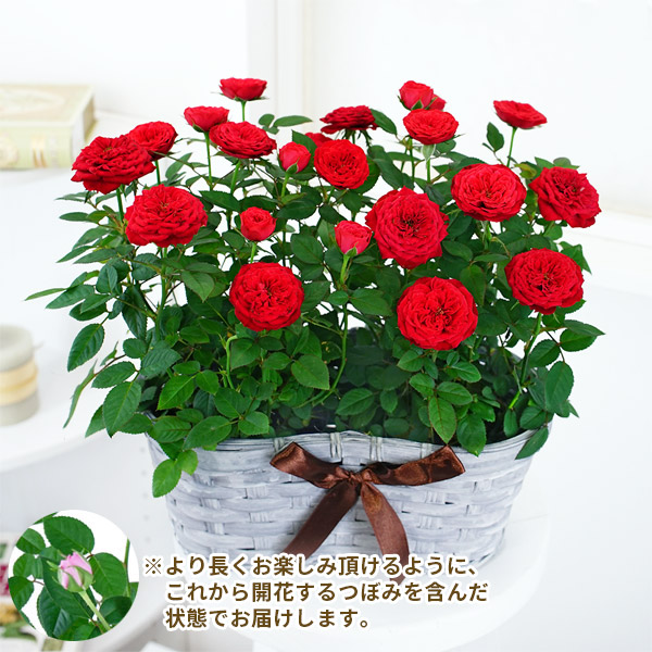 【敬老の日】敬老の日限定ミニバラの寄せ鉢(グレーかご) 711415 |花キューピットの敬老の日プレゼント特集2020