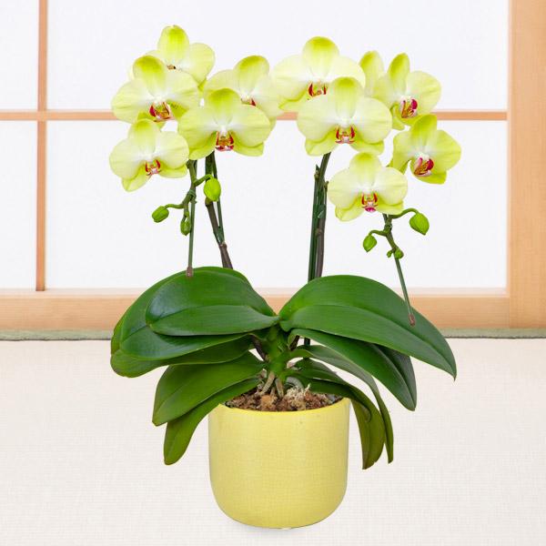 【敬老の日】ミディ胡蝶蘭 フォーチュン(2本立) 黄鉢 711416 |花キューピットの敬老の日プレゼント特集2020