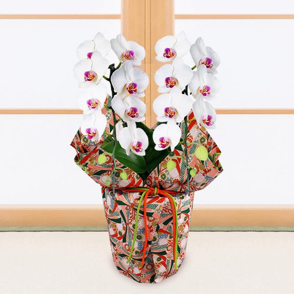 【敬老の日】ミディ胡蝶蘭 タイアン(2本立)千代紙ラッピング 711417 |花キューピットの敬老の日プレゼント特集2020