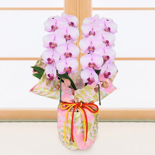 【敬老の日】ミディ胡蝶蘭 ピンク(2本立)千代紙ラッピング 711418 |花キューピットの敬老の日プレゼント特集2020