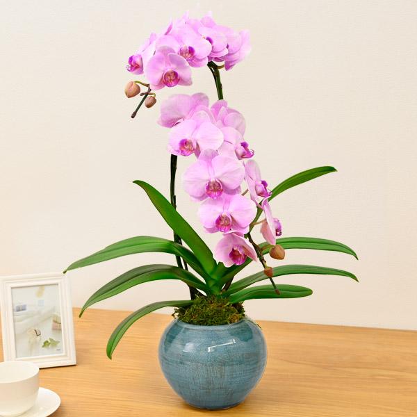 インテリアミディ胡蝶蘭 ピンク(2本立) 711429 |花キューピットのウィンタープレゼント特集2020