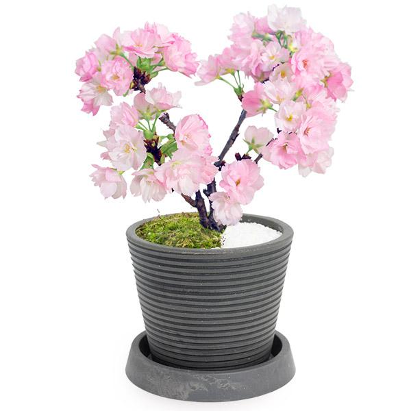 【春の花贈り】桜盆栽(旭山桜) 711430 |花キューピットの春の誕生日特集