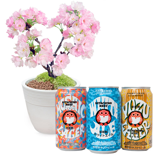 【産直鉢物(さくら鉢)】桜盆栽(旭山桜)お花見セット