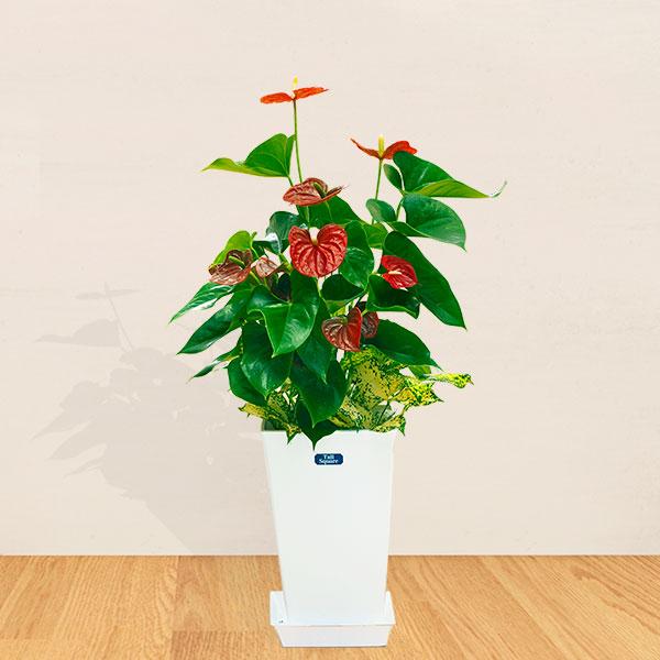 【産直 観葉植物(通年)】アンス赤&ゴット寄せ(白鉢)