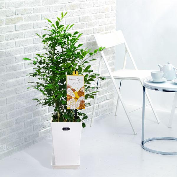 【産直 観葉植物(通年)】シルクジャスミン(白鉢)