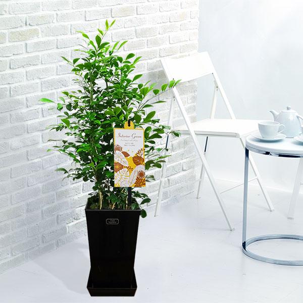 【産直 観葉植物(通年)】シルクジャスミン(黒鉢)