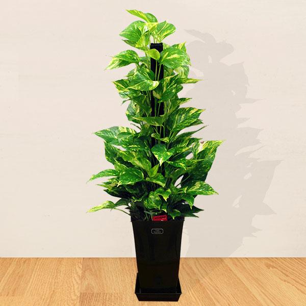 【産直 観葉植物(通年)】ポトスのヘゴ(黒鉢)
