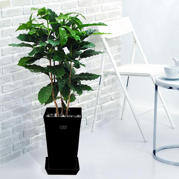 【産直 観葉植物(通年)】コーヒーの木(黒鉢)