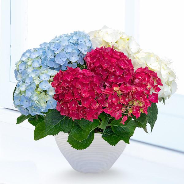【母の日 産直ギフト】母の日あじさい3色寄せ(赤・白・ライトブルー)