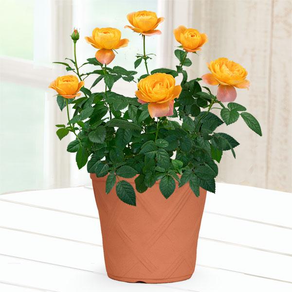 【母の日産直】バラ ジューシーテラッツァ) 711484 |花キューピットの母の日産直プレゼント特集2021
