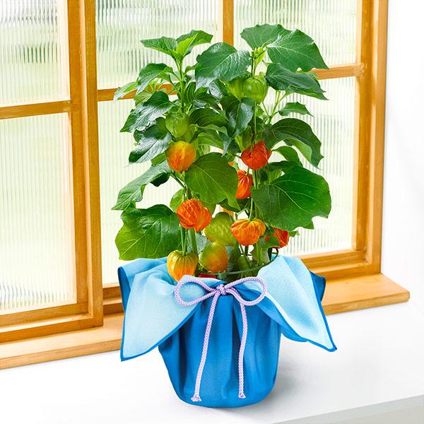 【夏の花贈り 産直ギフト】ほおずき(風呂敷包み)