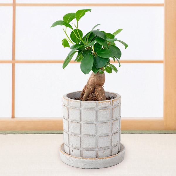 【敬老の日特集】ガジュマル(多幸の木) 711498 |花キューピットの敬老の日特集プレゼント特集2021