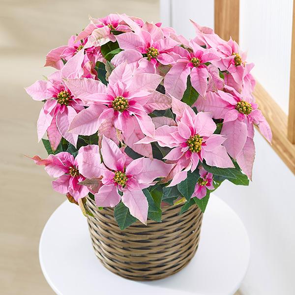 プリンセチア ピンクホワイト 711500  花キューピットのお歳暮・寒中見舞い特集2021