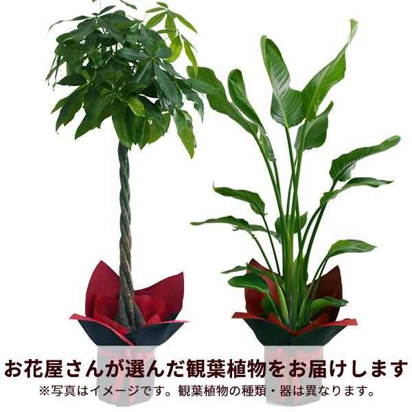 【お花屋さんがお届け!観葉植物】観葉植物(おまかせ)
