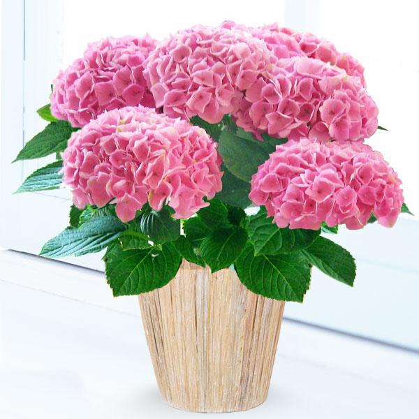 【母の日】母の日あじさい シーアン(ピンク) podb01 |花キューピットの2019母の日プレゼント特集