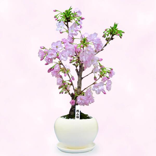 【産直鉢物(さくら鉢)】旭山桜
