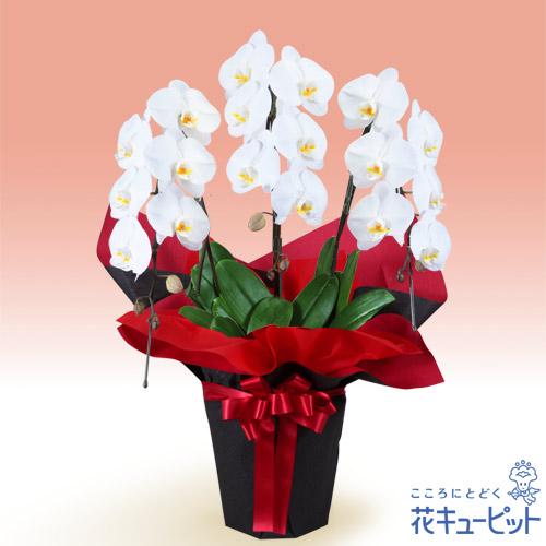 【お祝い(法人)】胡蝶蘭 3本立(開花輪白18以上)赤系ラッピング