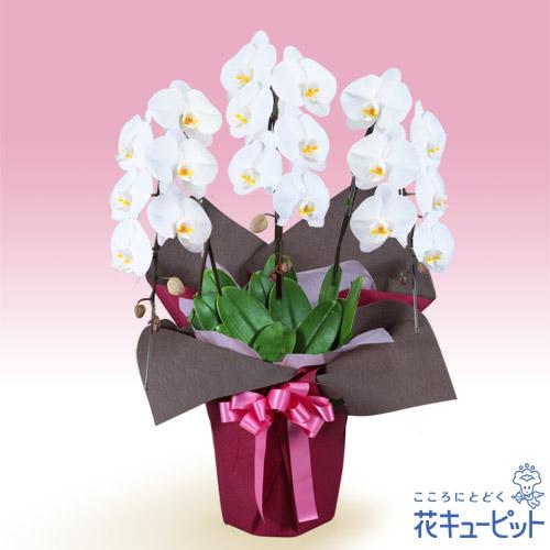 【花鉢(胡蝶蘭・洋蘭)】胡蝶蘭 3本立(開花輪白18以上)ピンク系ラッピング安心のカスタマーサポート!お花屋さんがお届けします!