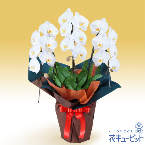 【花鉢(胡蝶蘭・洋蘭)】胡蝶蘭 3本立(開花輪白18以上)オレンジ系ラッピング安心のカスタマーサポート!お花屋さんがお届けします!