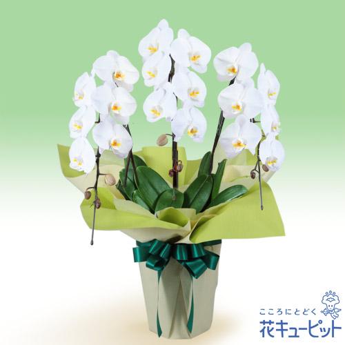【花鉢(お供え胡蝶蘭)(法人)】お供え胡蝶蘭 3本立(開花輪白18以上)