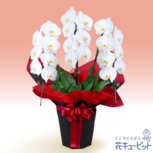 【花鉢(胡蝶蘭・洋蘭)】胡蝶蘭 3本立(開花輪白21以上)赤系ラッピングご予算2万円以内の方はこちらがおすすめです。