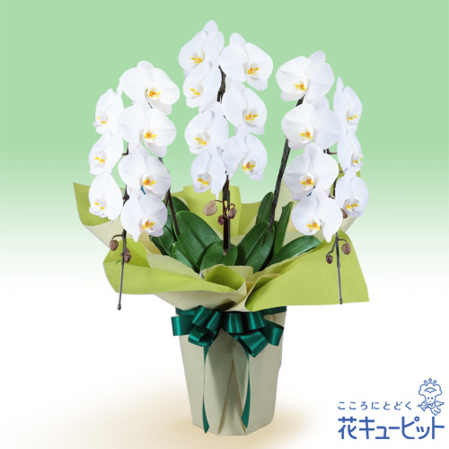 【花鉢(お供え胡蝶蘭)(法人)】お供え胡蝶蘭 3本立(開花輪白21以上)