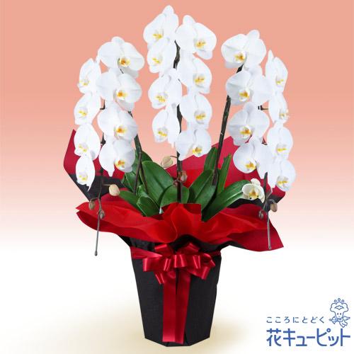 【お祝い】胡蝶蘭 3本立(開花輪白24以上)赤系ラッピング安心のカスタマーサポート!お花屋さんがお届けします!