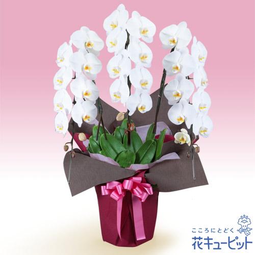 【花鉢(胡蝶蘭・洋蘭)(法人)】胡蝶蘭 3本立(開花輪白24以上)ピンク系ラッピング