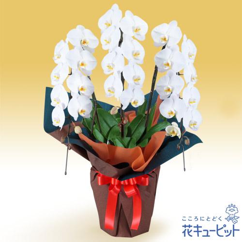 【花鉢(胡蝶蘭・洋蘭)】胡蝶蘭 3本立(開花輪白24以上)オレンジ系ラッピング安心のカスタマーサポート!お花屋さんがお届けします!