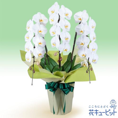 【花鉢(お供え胡蝶蘭)】お供え胡蝶蘭 3本立(開花輪白24以上)仏前に長く飾ることができる、日持ちの良い胡蝶蘭です。