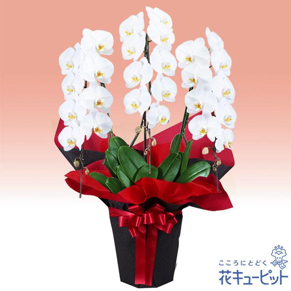 【花鉢(胡蝶蘭・洋蘭)(法人)】胡蝶蘭 3本立(開花輪白26以上)赤系ラッピング