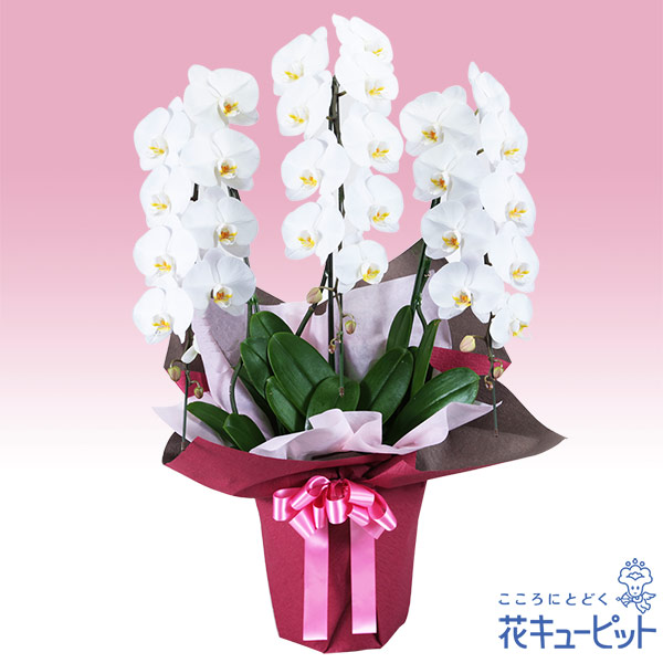 【花鉢(胡蝶蘭・洋蘭)(法人)】胡蝶蘭 3本立(開花輪白26以上)ピンク系ラッピング