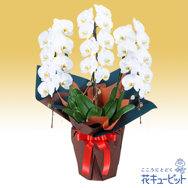 【花鉢(胡蝶蘭・洋蘭)(法人)】胡蝶蘭 3本立(開花輪白26以上)オレンジ系ラッピング