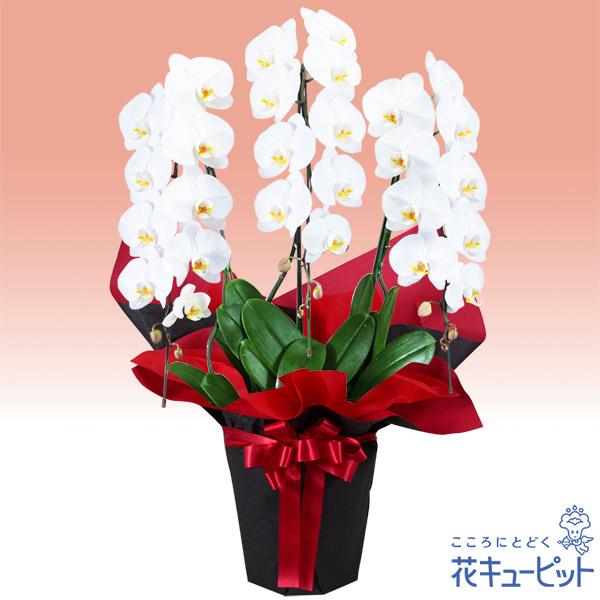 【ご昇進・ご栄転(法人)】胡蝶蘭 3本立(開花輪白27以上)赤系ラッピング