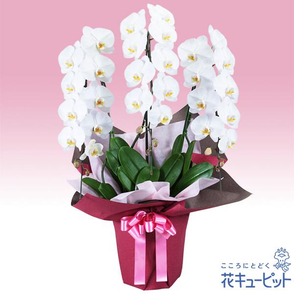 【お祝い】胡蝶蘭 3本立(開花輪白27以上)ピンク系ラッピング安心のカスタマーサポート!お花屋さんがお届けします!