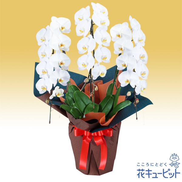 【花鉢(胡蝶蘭・洋蘭)(法人)】胡蝶蘭 3本立(開花輪白27以上)オレンジ系ラッピング