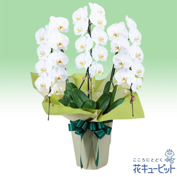 【花鉢(お供え胡蝶蘭)】お供え胡蝶蘭 3本立(開花輪白27以上)仏前に長く飾ることができる、日持ちの良い胡蝶蘭です。