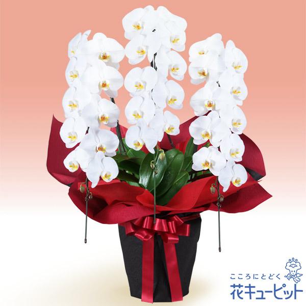 【新築引っ越し祝い(法人)】胡蝶蘭 3本立(開花輪白30以上)赤系ラッピング