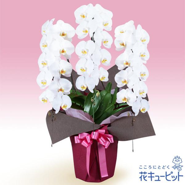 【叙勲祝い(法人)】胡蝶蘭 3本立(開花輪白30以上)ピンク系ラッピング