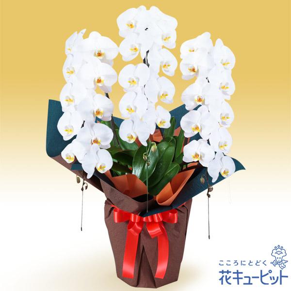 【叙勲祝い(法人)】胡蝶蘭 3本立(開花輪白30以上)オレンジ系ラッピング