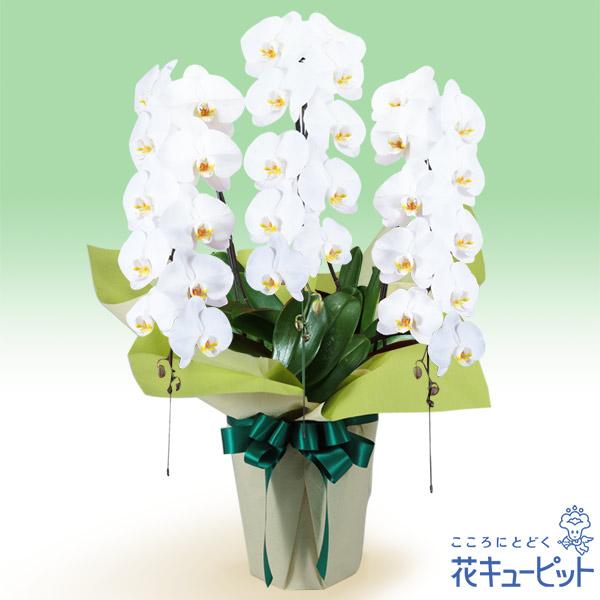【花鉢(お供え胡蝶蘭)】お供え胡蝶蘭 3本立(開花輪白30以上)仏前に長く飾ることができる、日持ちの良い胡蝶蘭です。