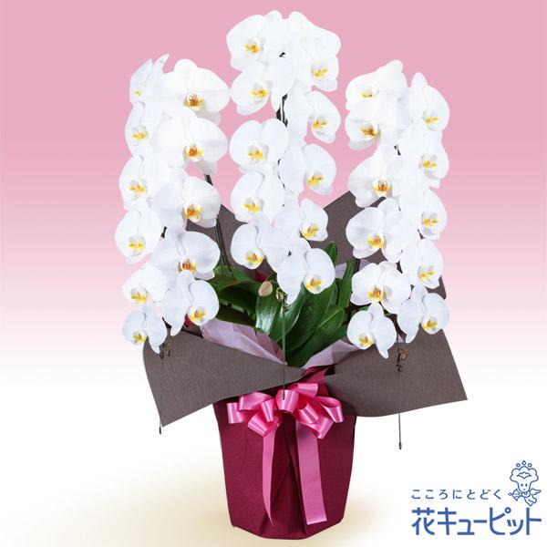 【花鉢(胡蝶蘭・洋蘭)】胡蝶蘭 3本立(開花輪白33以上)ピンク系ラッピング安心のカスタマーサポート!お花屋さんがお届けします!