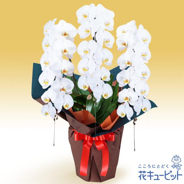 【花鉢(胡蝶蘭・洋蘭)(法人)】胡蝶蘭 3本立(開花輪白33以上)オレンジ系ラッピング