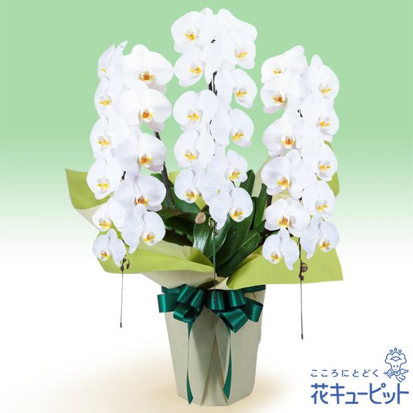 【花鉢(お供え胡蝶蘭)】お供え胡蝶蘭 3本立(開花輪白33以上)仏前に長く飾ることができる、日持ちの良い胡蝶蘭です。