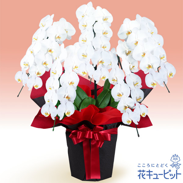 【花鉢(胡蝶蘭・洋蘭)(法人)】胡蝶蘭 5本立(開花輪白50以上)赤系ラッピング