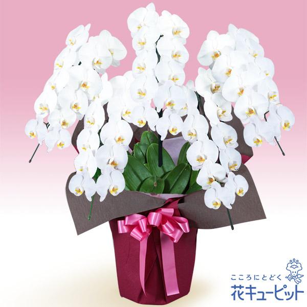 【花鉢(胡蝶蘭・洋蘭)】胡蝶蘭 5本立(開花輪白50以上)ピンク系ラッピング梱包材不使用!贈られる方の手を煩わせません。