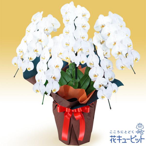 【花鉢(胡蝶蘭・洋蘭)】胡蝶蘭 5本立(開花輪白50以上)オレンジ系ラッピング梱包材不使用!贈られる方の手を煩わせません。